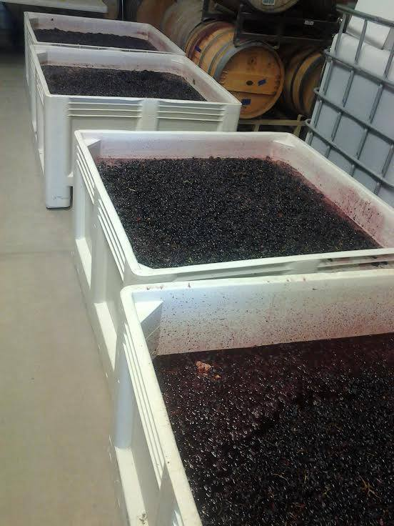 If there was any doubt, el Sol Winery shows us that harvest has begun!